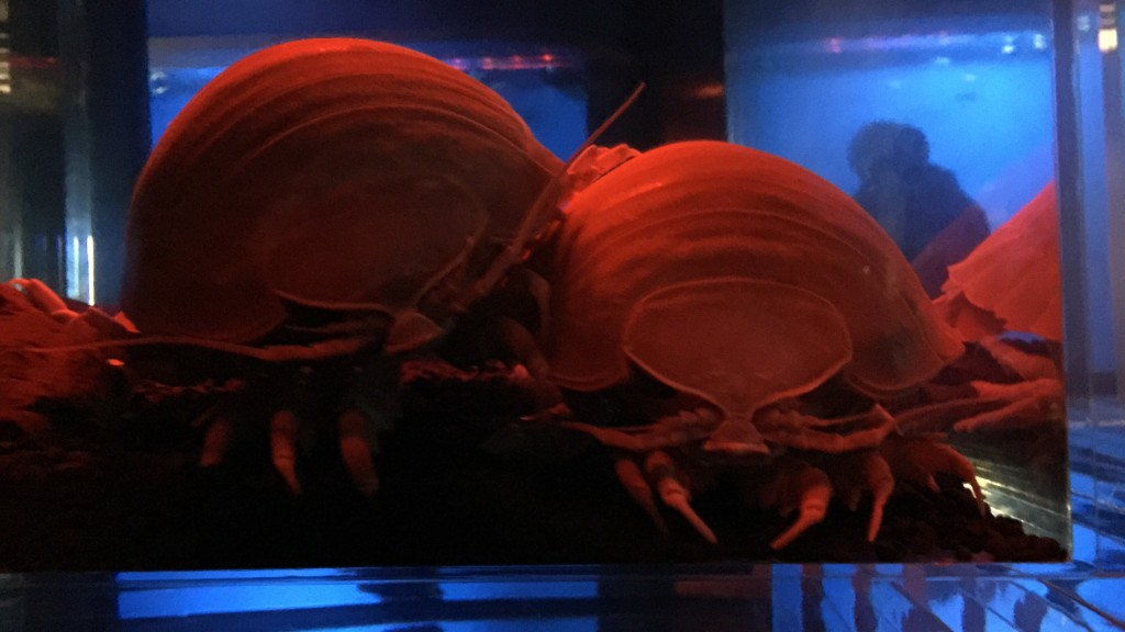 京都水族館のダイオウグソクムシ
