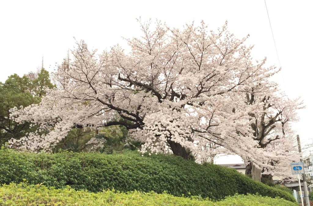 阪今池公園の桜