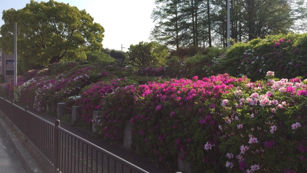 阪今池公園のツツジ
