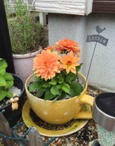 花壇にダリアを入れてみました