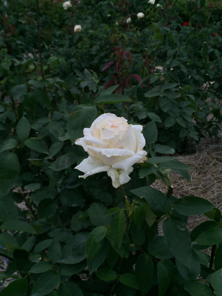 富士中央公園の薔薇