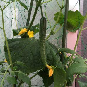 野菜がぐんぐん育っています