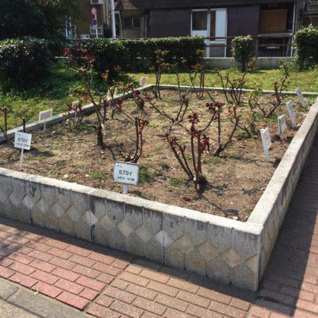 真田山公園の花壇のバラ